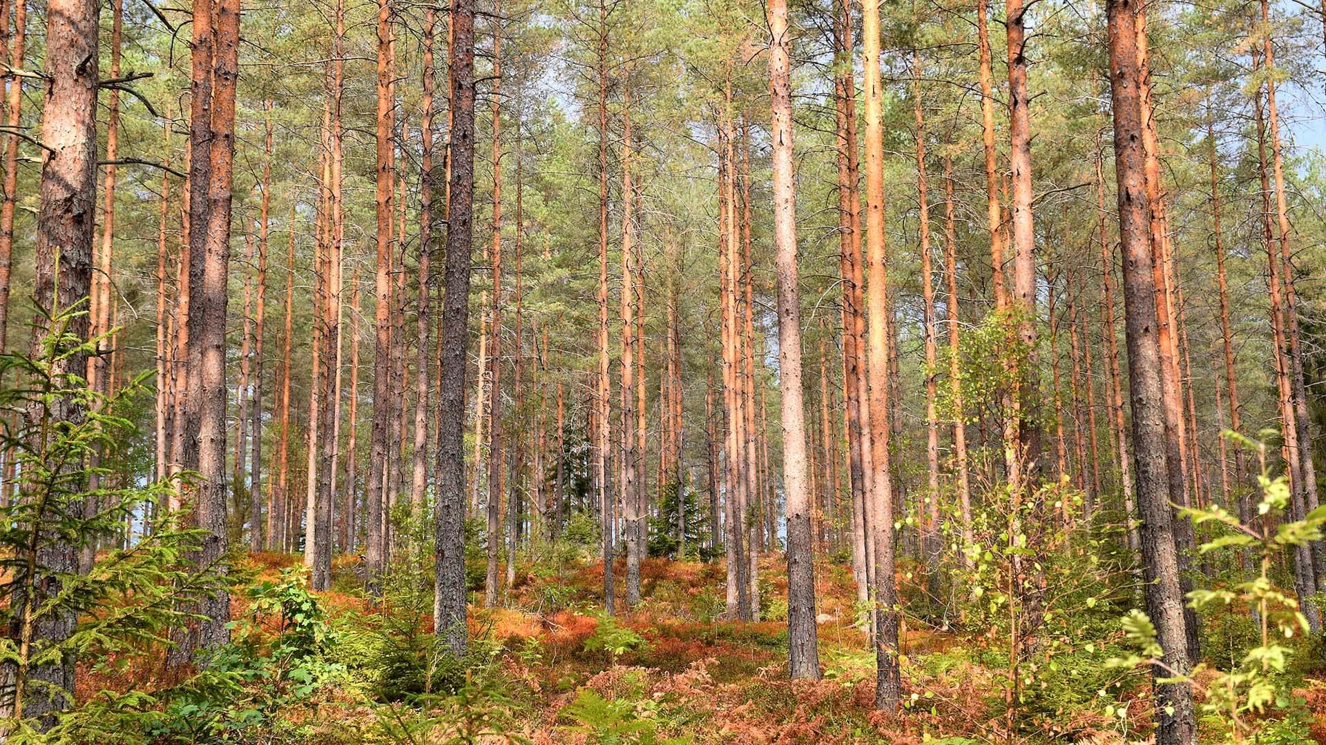 Janfire skog